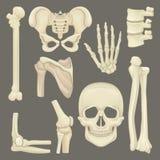 Delar av det mänskliga skelettet Skalle bäcken- gördel, hand, humerus, lumbal rygg, skulderblad, knäled Plan vektor för vektor illustrationer