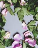 Delar av en rosa växt royaltyfria foton