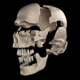 Delarna av den mänskliga skallen Arkivbild