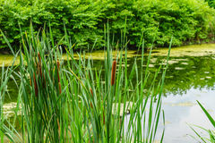 Delaware Canal Towpath and bulrush, Historic New Hope, PA. USA royalty free stock photography
