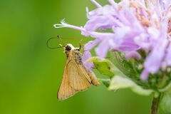 Free Delaware Skipper Royalty Free Stock Images - 209240479