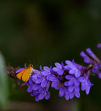 Delaware Skipper Butterfly Royalty Free Stock Images
