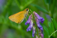 Delaware Skipper Butterfly. Female Delaware Skipper Butterfly collecting nectar from a cow vetch flower. Todmorden Mills, Toronto, Ontario, Canada Royalty Free Stock Photo