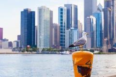 delawarensis Anel-faturado do Larus da gaivota que senta-se no cargo da doca com imagem de stock royalty free