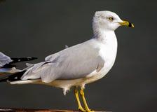 Delawarensis faturado anel do Larus da gaivota Fotografia de Stock
