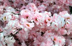 Delcate flowers of pink color of a peach tree in spring Royalty Free Stock Photo