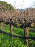 A deleafed vineyard Royalty Free Stock Photos