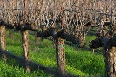 A deleafed vineyard Stock Images