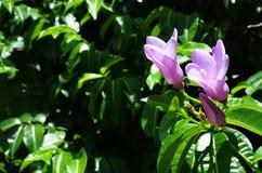 Delecate geriffelt Lavendelblumen öffnen ihre Blumenblätter in Mexiko Lizenzfreies Stockbild