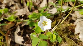 Wood Sorrel Flower royalty free stock image