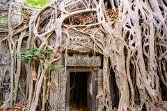 Deleite do demage das árvores crescentes no templo de Ta Prohm, Angkor, Siem Reap, Camboja Raizes grandes sobre as paredes de um