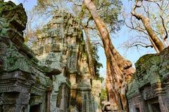 Deleite do demage das ?rvores crescentes no templo de Ta Prohm, Angkor, Siem Reap, Camboja Raizes grandes sobre as paredes de um