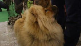 Deleites de espera do cão agradável de Chow Chow e vista do proprietário, animal de estimação macio do puro-sangue video estoque