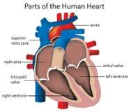 Delen van het hart Stock Foto's