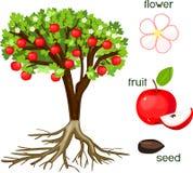 Delen van installatie De morfologie van appelboom met vruchten, bloemen, groen bladeren en wortelsysteem op witte achtergrond stock illustratie
