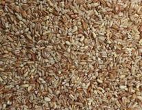Deletreado, la cebada, el arroz moreno, el trigo y la avena se mezclaron juntos, alistan para una sopa sana Imagen de archivo