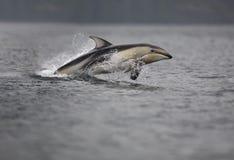 Delfín Blanco-echado a un lado pacífico Imagenes de archivo
