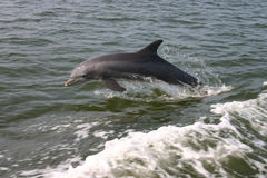 Delfín Botella-Olfateado Foto de archivo