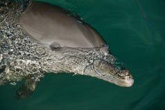 Delfín cómodo Fotografía de archivo