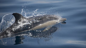 Delfín común Foto de archivo libre de regalías