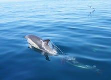 Delfín común salvaje Fotos de archivo