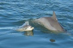 Delfín con el bebé imagenes de archivo