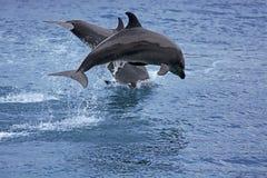 Delfín de Bottlenose Foto de archivo libre de regalías