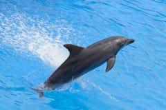 Delfín de Bottlenose Imagenes de archivo
