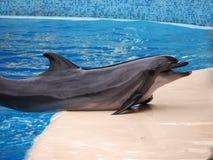 Delfín de bottlenose del delfín del mar durante un discurso al público foto de archivo