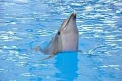 Delfín de Bottlenose en agua azul Imagen de archivo libre de regalías