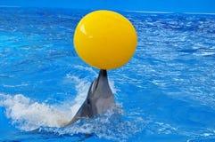 Delfín de Bottlenose en agua azul con la bola amarilla Foto de archivo libre de regalías
