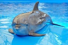 Delfín de Bottlenose en agua azul de la piscina Foto de archivo libre de regalías