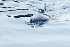 Delfín de Bottlenose o truncatus del Tursiops Foto de archivo