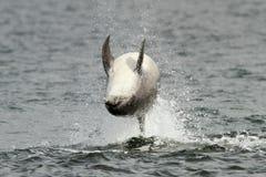 Delfín de Bottlenose (truncatus del Tursiops) Fotos de archivo