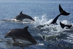 Delfín de Bottlenosed (aduncus de Turslops) Imágenes de archivo libres de regalías