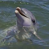 Delfín de Bottlnose Fotos de archivo libres de regalías