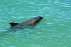 Delfín de la natación fotografía de archivo libre de regalías