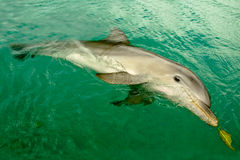 Delfín del centro turístico Imágenes de archivo libres de regalías
