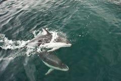 Delfín echado a un lado blanco pacífico Imagen de archivo libre de regalías