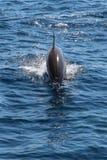 Delfín en agua azul Fotos de archivo libres de regalías