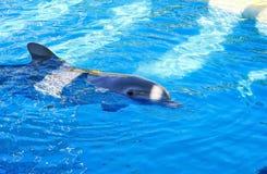 Delfín en agua azul agradable Imagen de archivo libre de regalías