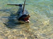 Delfín en agua baja foto de archivo