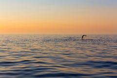 Delfín, en el fondo una puesta del sol hermosa foto de archivo