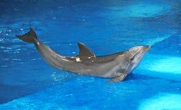 Delfín entrenado Fotografía de archivo