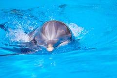 Delfín hermoso en el agua Fotografía de archivo libre de regalías