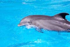 Delfín hermoso en el agua Fotografía de archivo