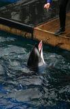 Delfín que es recompensado Foto de archivo