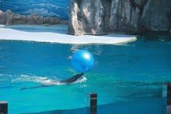 Delfín que hace truco con la bola Imagenes de archivo