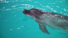 Delfín que mira fuera del agua azul en piscina almacen de video