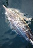 Delfín que monta la estela del arco Fotos de archivo